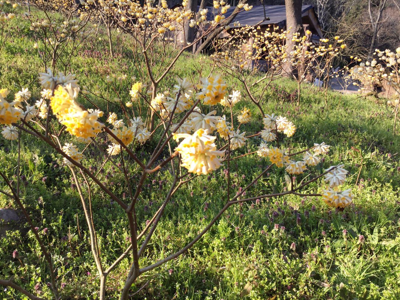 ミツマタの花が咲き誇る