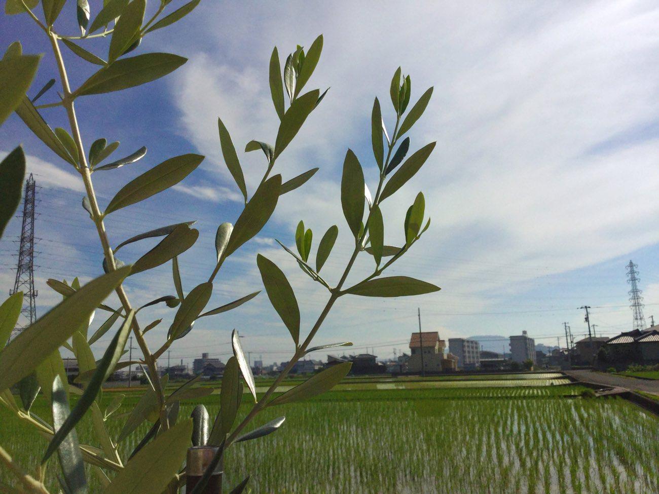 旅ベーグルの庭にあるオリーブの木と空