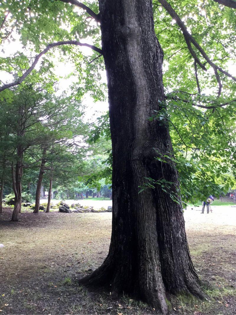 神社境内の木はちょっと神々しいですね