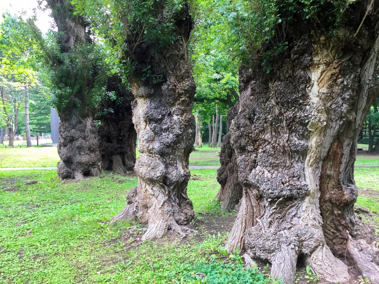 変わった感じのポプラの木