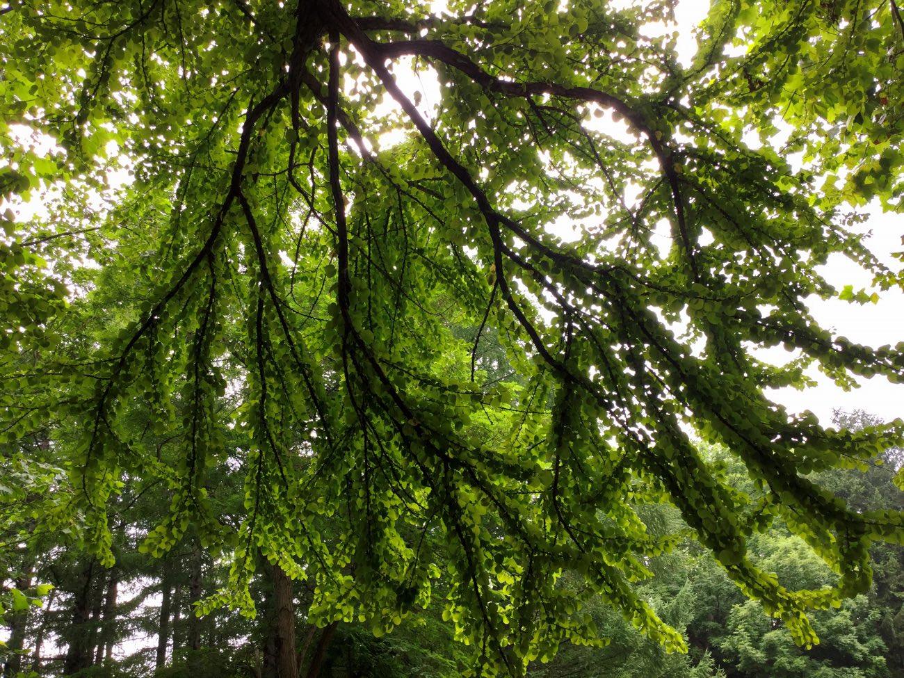 葉っぱは逆光で撮ると透き通って綺麗
