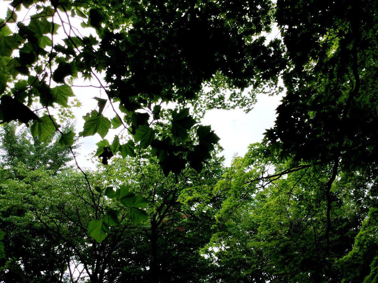 カエデの葉っぱ