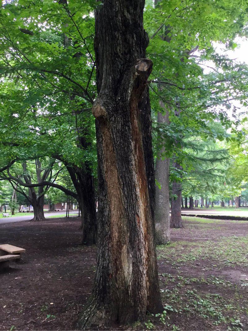 ラインのように色の違う筋がある木