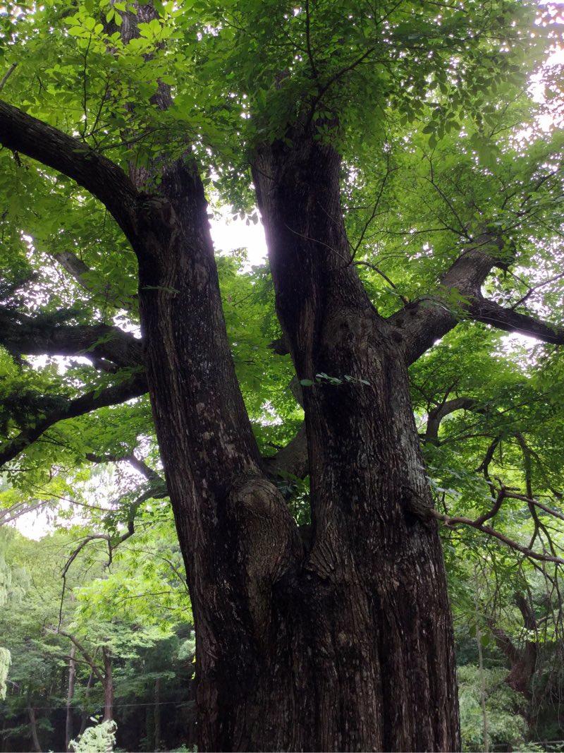 二股にわかれている木