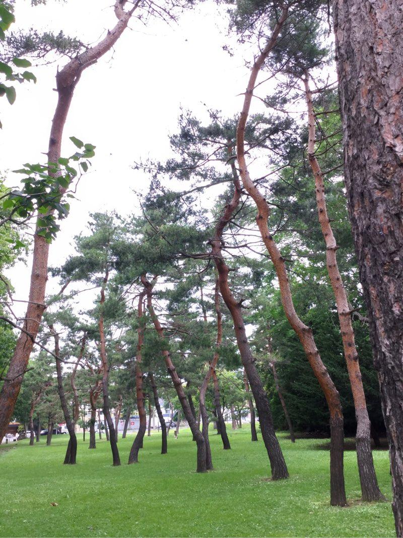 つるつるした木