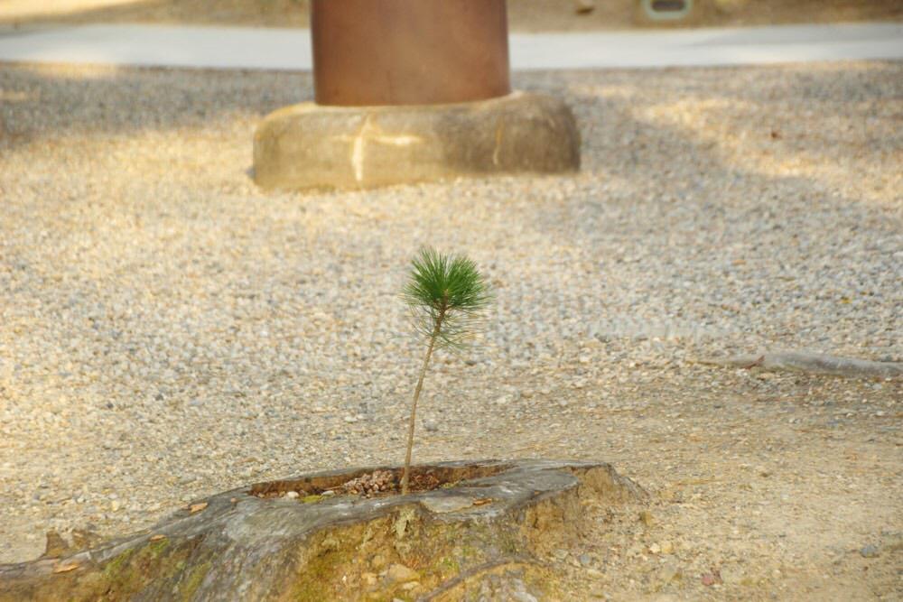 松の木の芽が!
