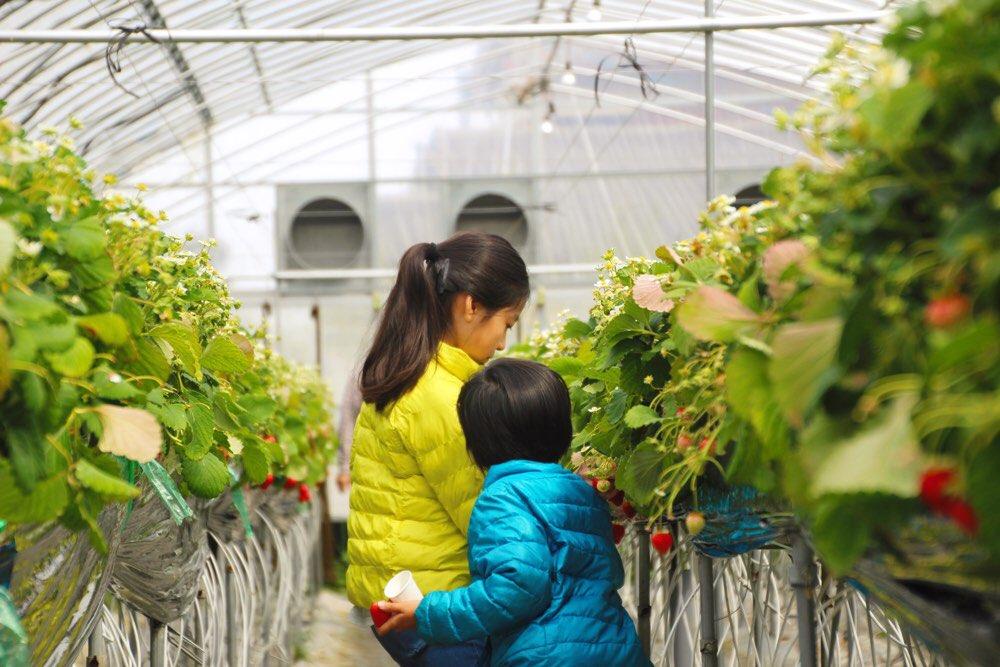 子どもたちがイチゴに夢中