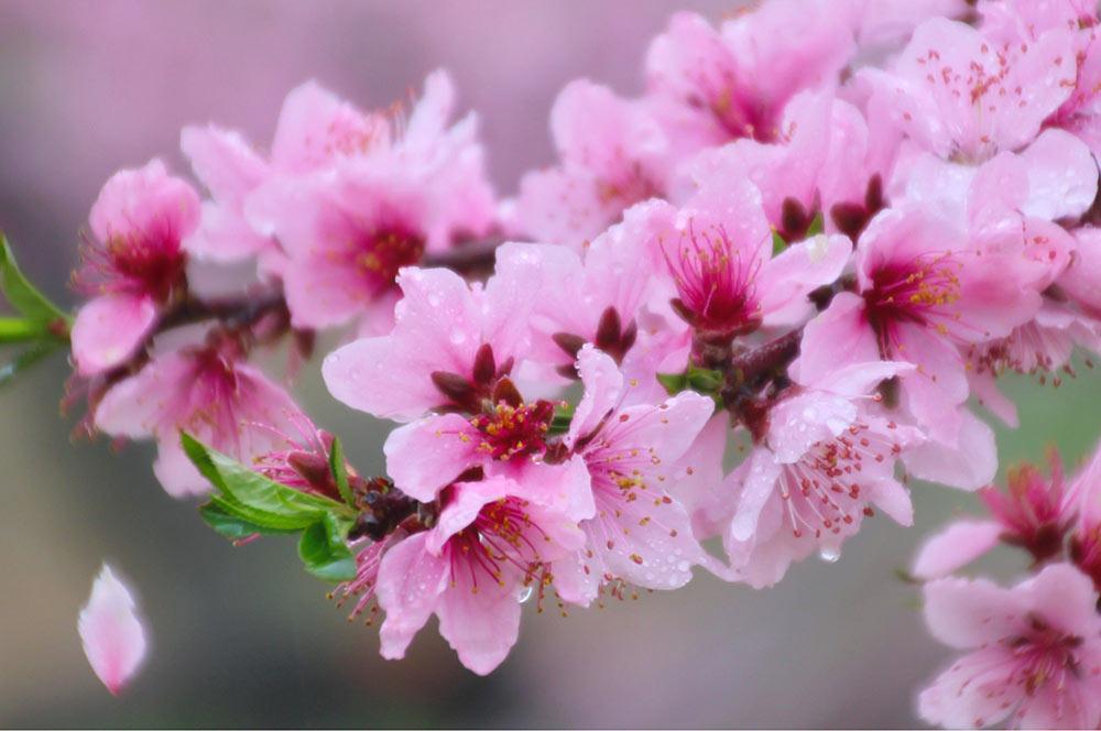桃の花は派手派手です