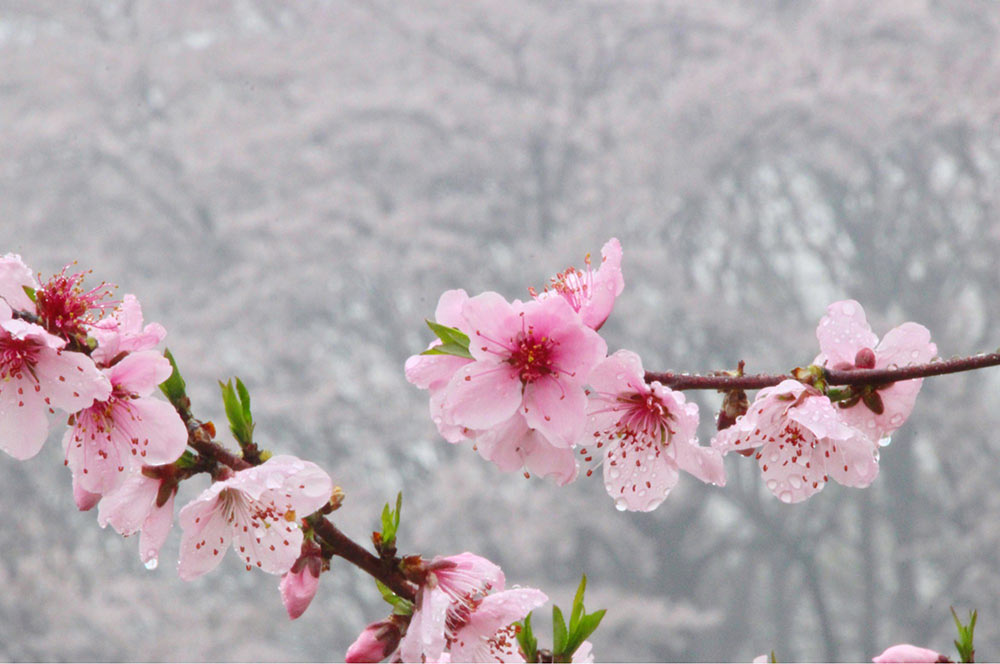 桜を背景に桃の花