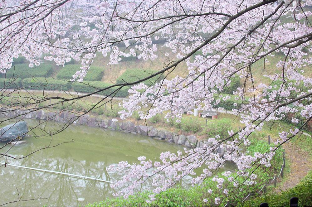 桜と池のコラボ