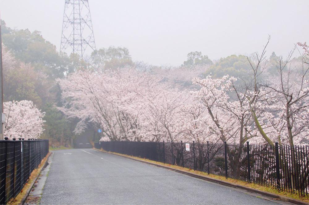 まっすぐの道に桜がつづく