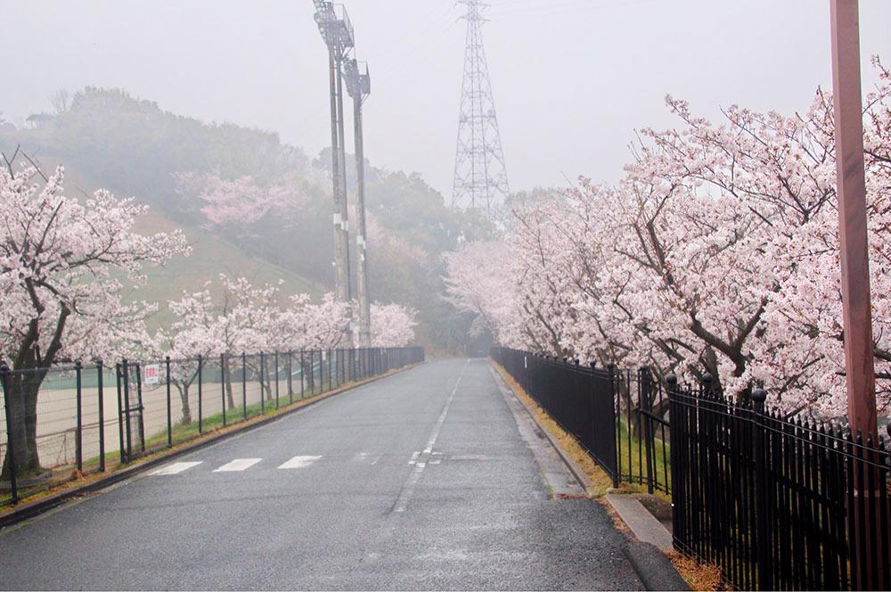 こちらは球場横の桜並木