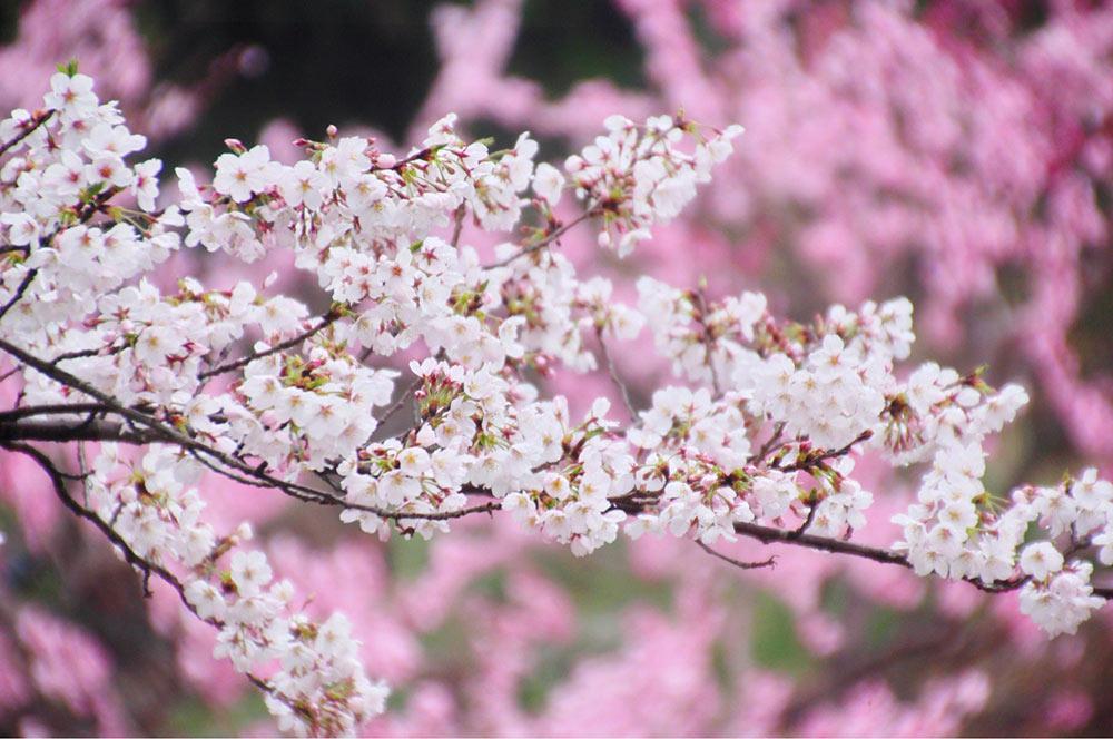 球場の周りでも桃と桜のコラボが