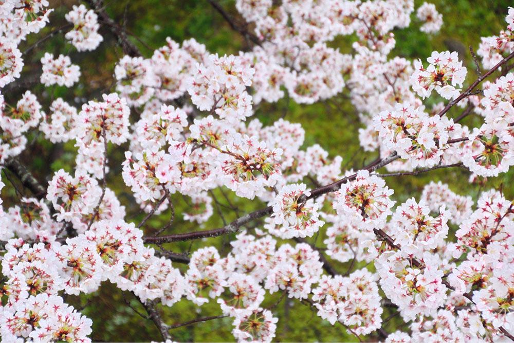 球場の上から桜を見下ろす