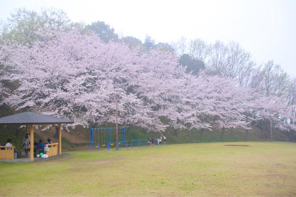 ちびっこ広場の桜も見事です