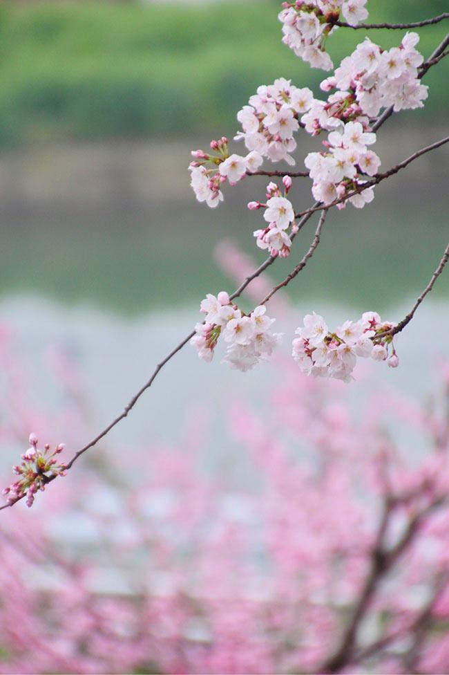 背景に桃の花と池