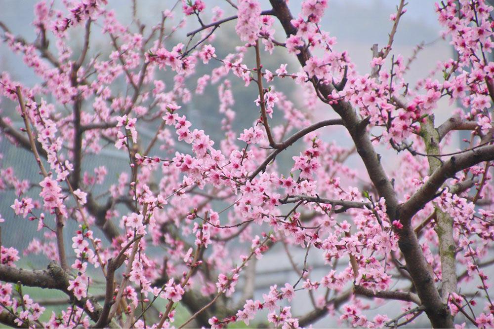 飯山の桃の花