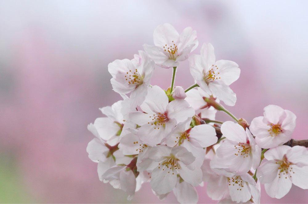桃の花を背景に桜を撮る!