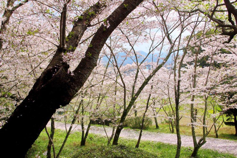 辺り一面桜だらけ