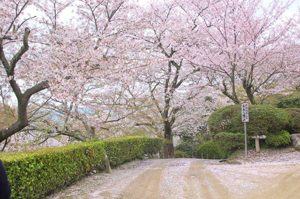宝物館の裏側にも桜が