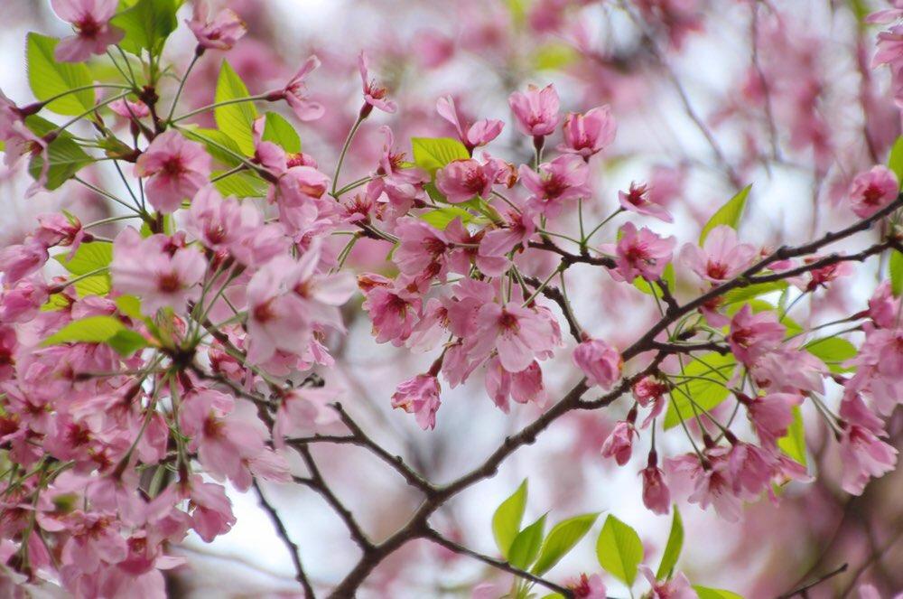 桜馬場の桜