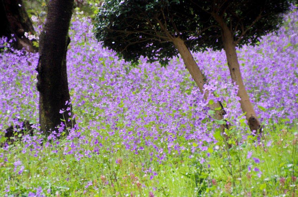 オオアラセイトウが見事に咲いていました