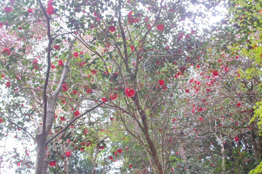 ヤブツバキがいっぱい咲いている