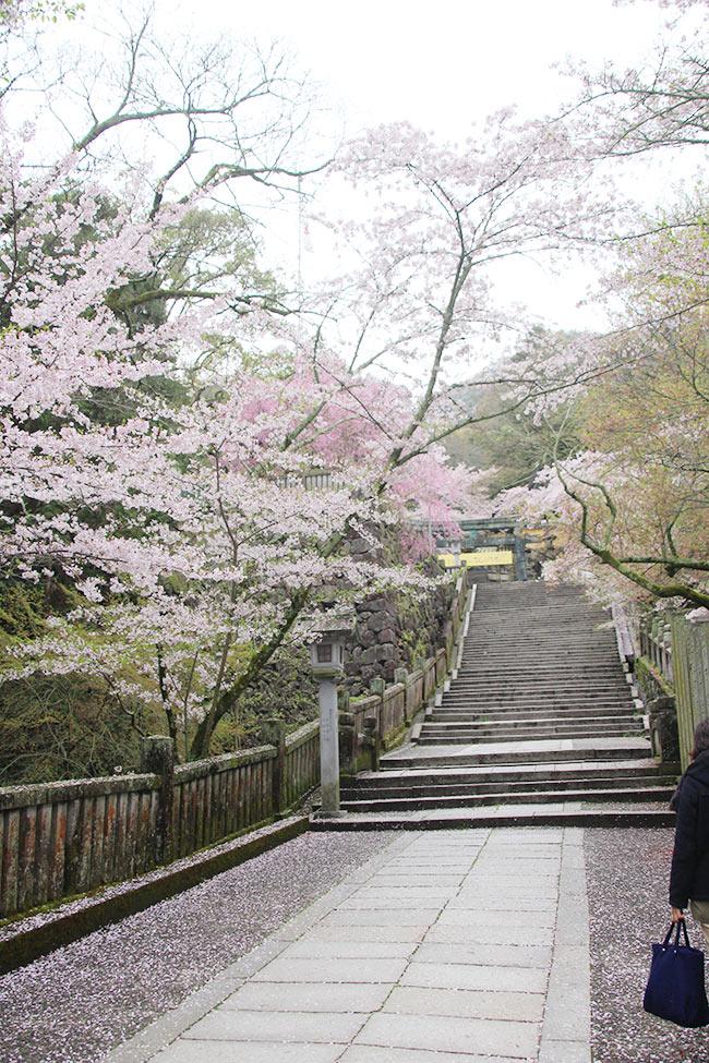 桜馬場から神馬のいる広場まで桜でいっぱい