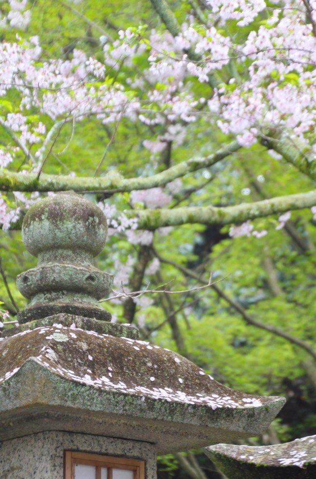 灯籠と桜のコラボ
