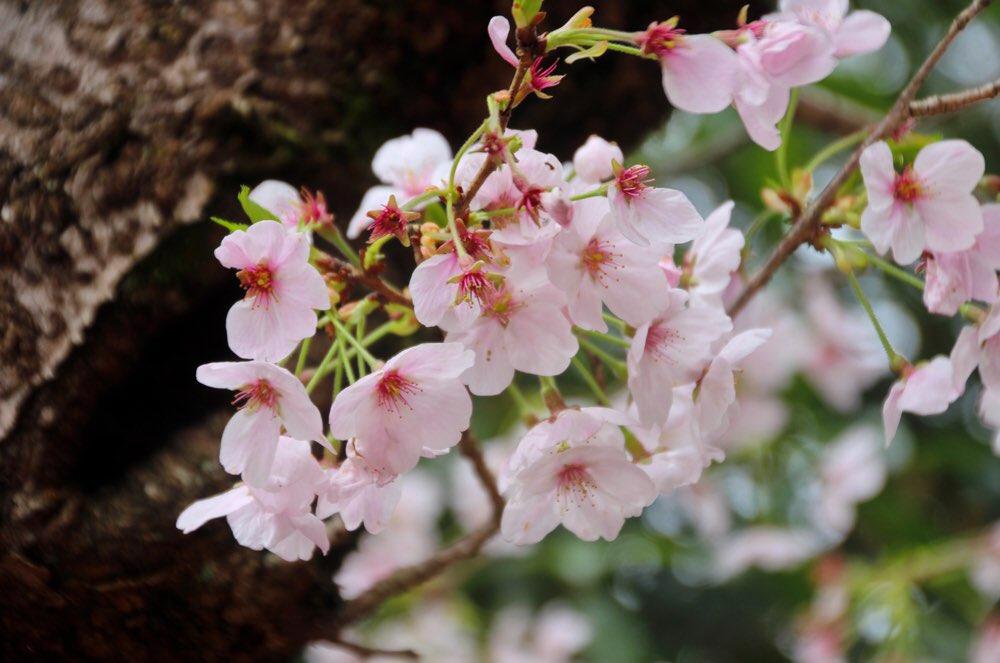 こんぴらさんの桜