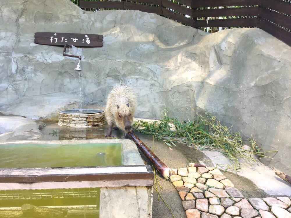 カピバラ温泉!?