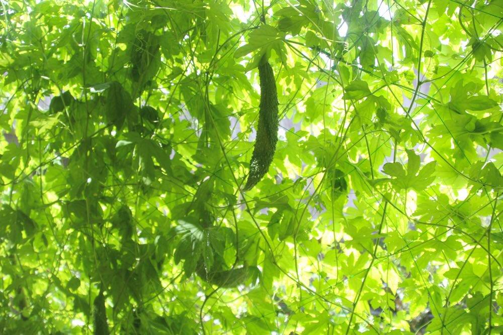 ゴーヤーの緑のカーテン
