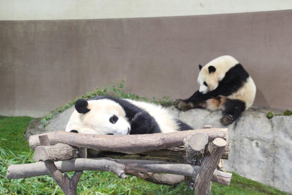 双子のジャイアントパンダ「桜浜(おうひん)」と、「桃浜(とうひん)」。
