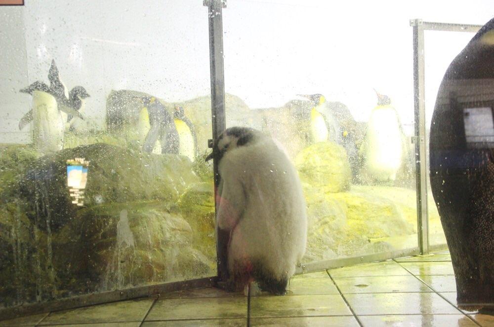 エンペラーペンギンの赤ちゃん