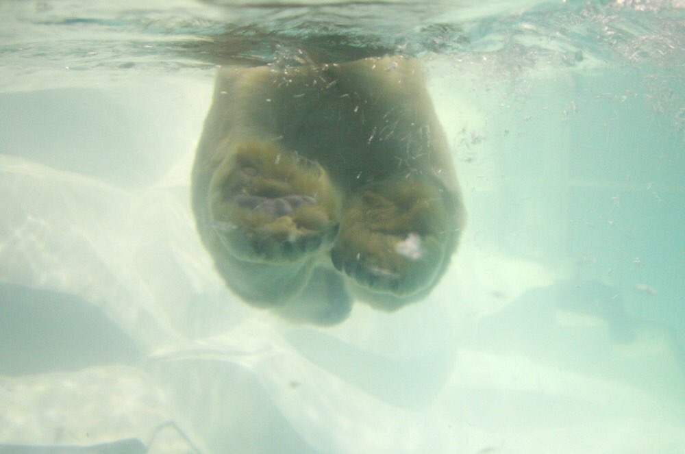 シロクマが泳いでる!