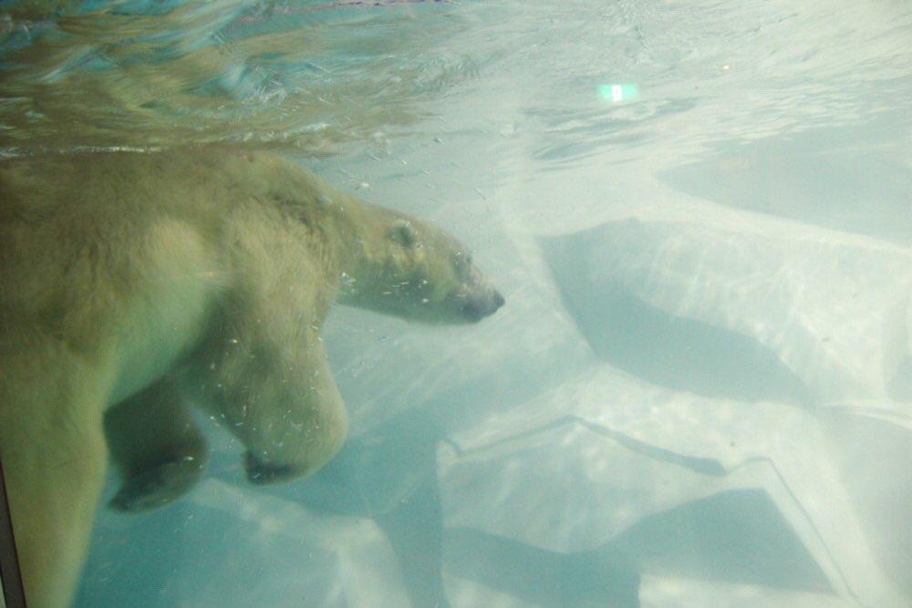 シロクマが豪快に泳いでました