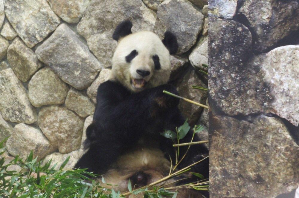 お父さんパンダの「永明(えいめい)」