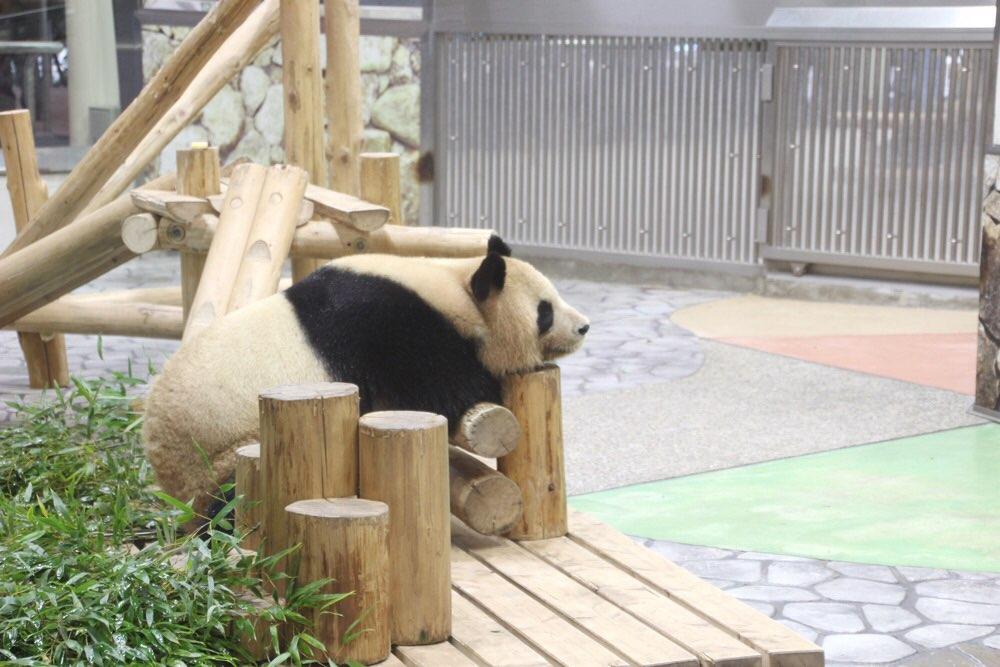 お母さんパンダの「良浜(らうひん)」
