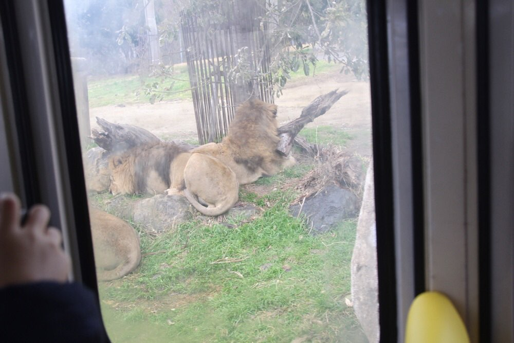 ライオンがすぐ側に