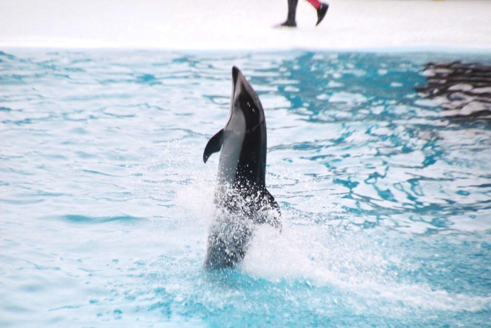 イルカが立ち泳ぎをしています。