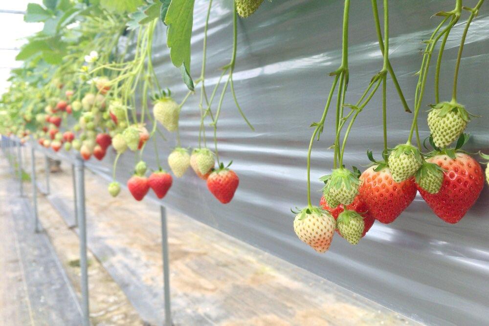 イチゴがいっぱい