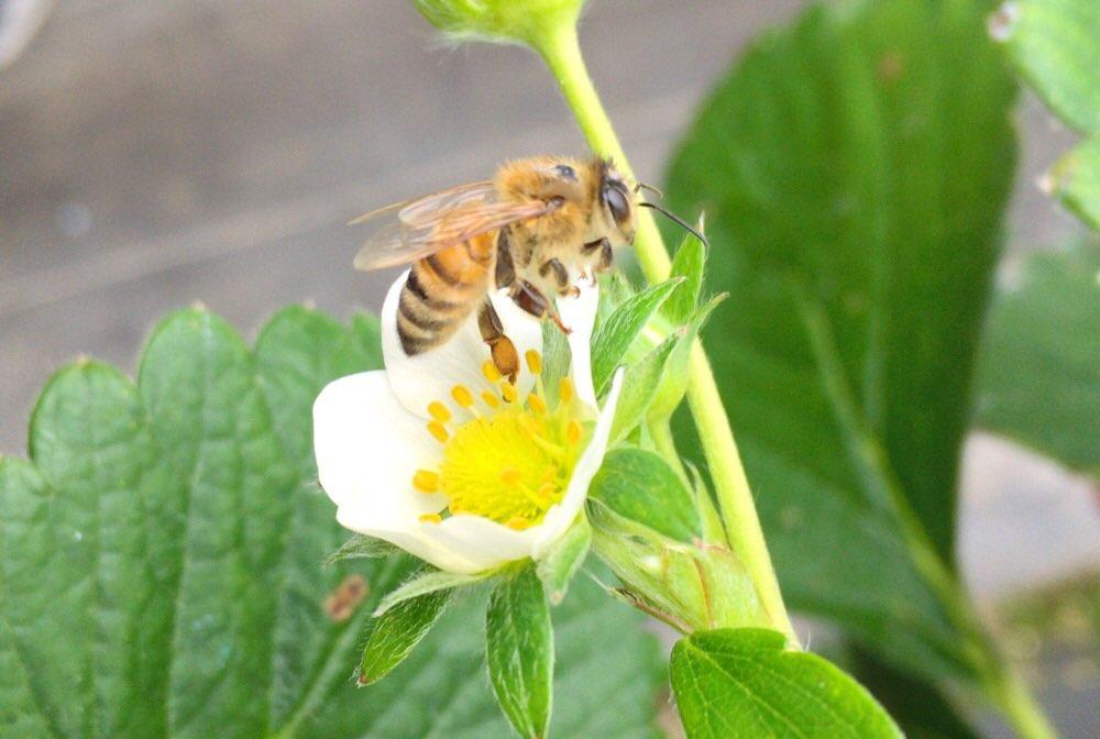 働き者のミツバチ発見
