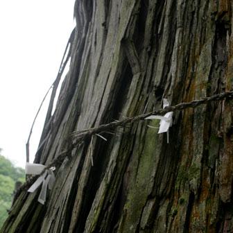 香川と徳島の県境にある杉王神社! 樹齢800年の大杉に癒やされるのだ!